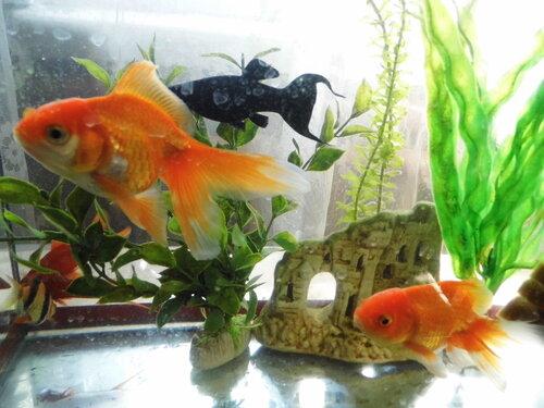 Золотые рыбки 1