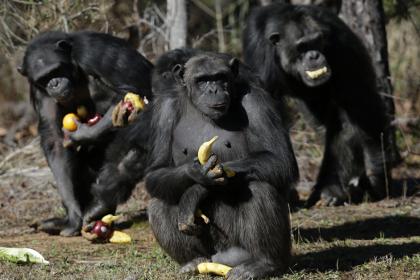 Суд Нью-Йорка рассматривает право обезьяны на личную свободу