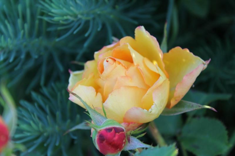 Фотоальбом «Лучшее из сада»-роза