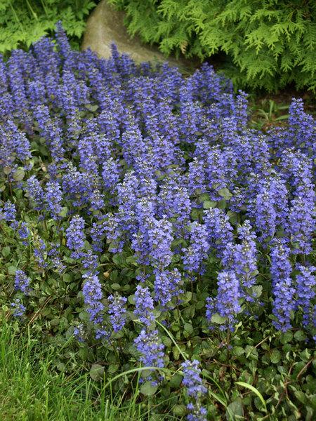 Многолетние цветы, переносящие жару-Лаванда