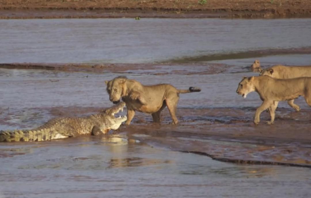 львы нападают на крокодила