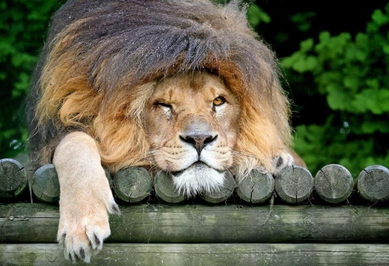 лев большая грива спит