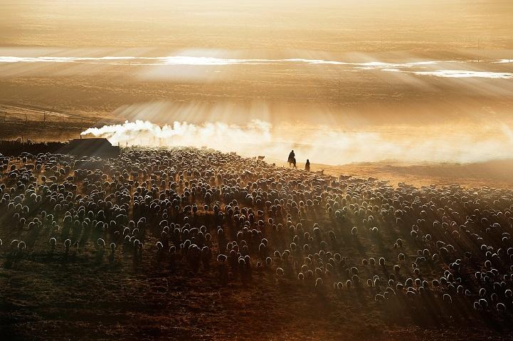 13. Поощрительная премия — «Утренний выпас» (автор: Лиминг Цао, Китай). Семья пастухов, получив кред
