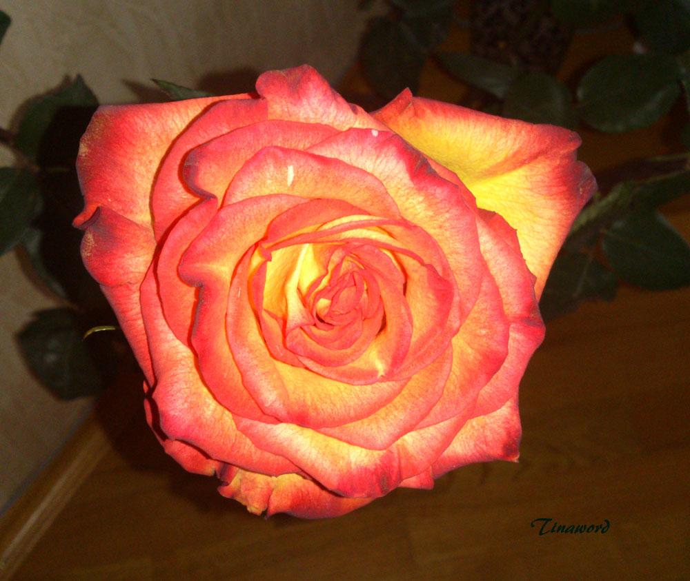 роза8.jpg