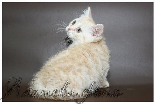 кремовая серебристая пятнистая британская короткошерстная кошка