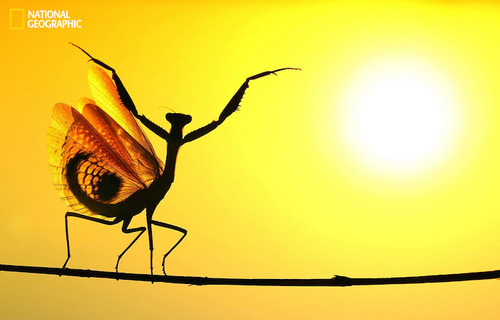 When the Mediterrenean Mantis opened its wings, It seemed very impressive at the sunshine ...National Geographic Photo Contest 2014PERMITTED USE: This image may be downloaded or is otherwise provided at no charge for one-time use for coverage or promo