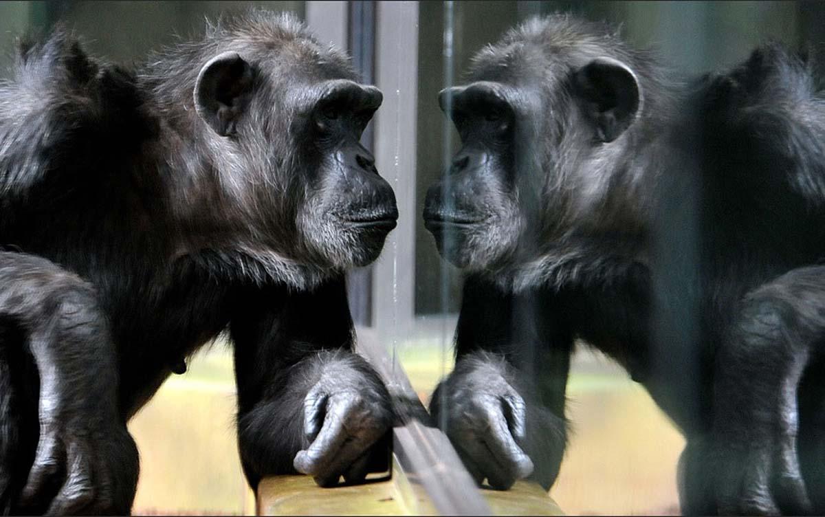 Шимпанзе, я бы сказал, с познавательными целями изучает собственное отражение. Зоопарк города Двур-Кралове-над-Лабем, Чехия