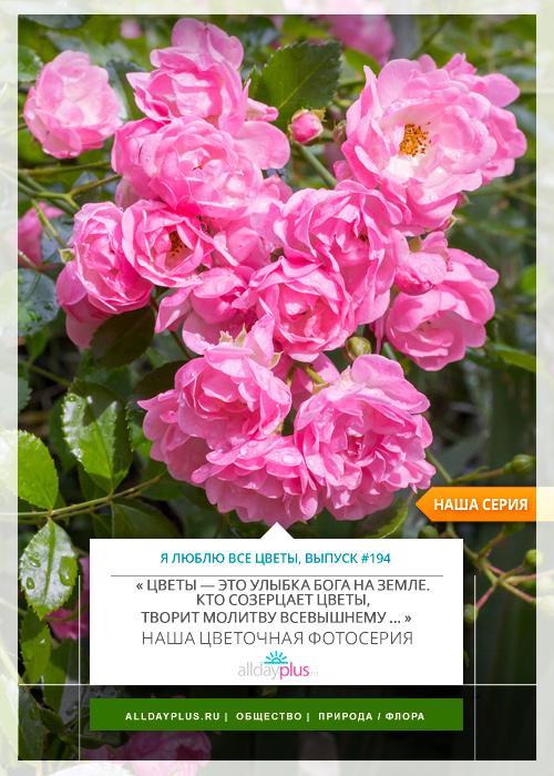 Я люблю все цветы, выпуск 194 | Роза - «Королева цветов».