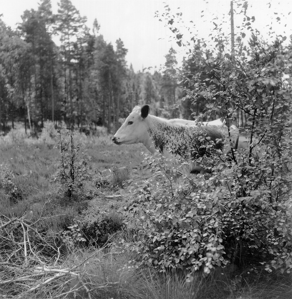 DalslandNšssemark sockenUlvattnetNeg 938FOTO MŒrten Sjšbeck 1952