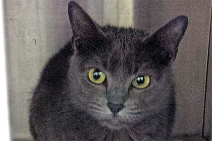 Американцы вызвали 911 из-за голубой русской кошки