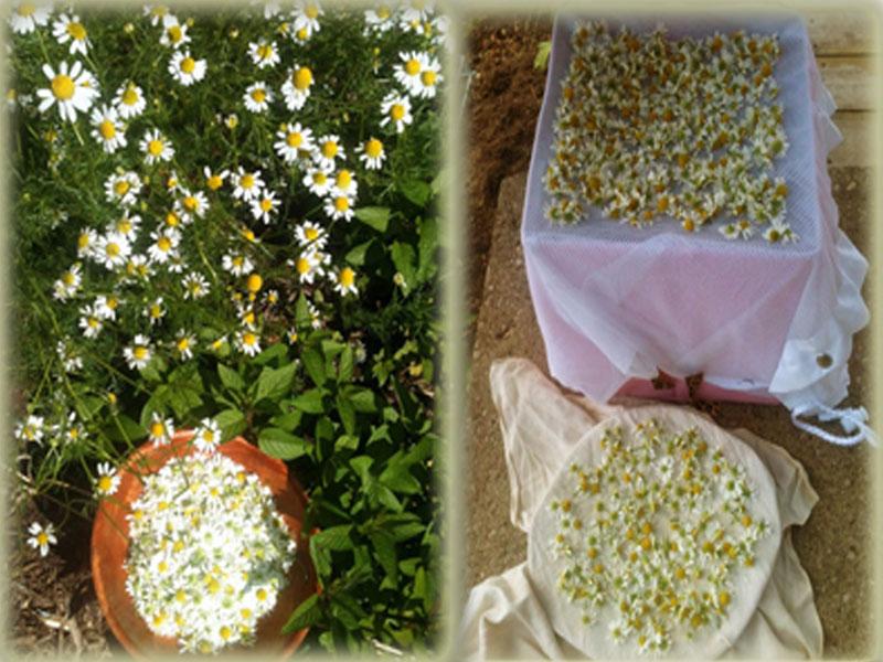 Чайные травы в вашем саду-ромашка аптечная