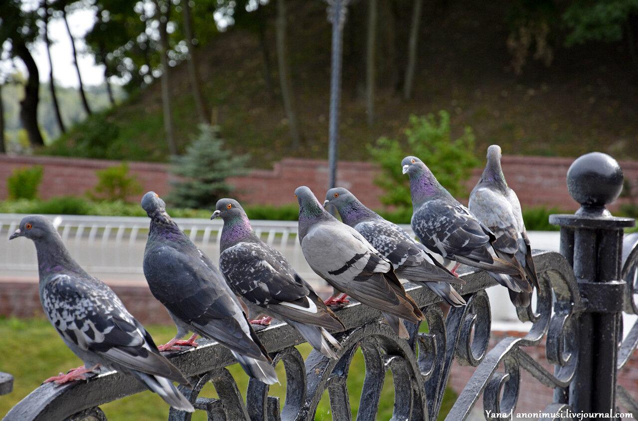 Голуби в Гомельском парке