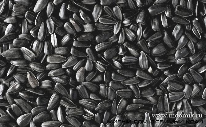 Когда и как собирать семена подсолнуха