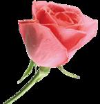Розовая роза