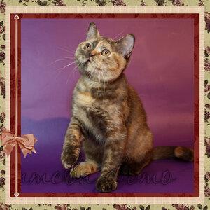 БравоБРИ Живанши Далия Ноар BRI h британская короткошерстная кошка шоколадного черепахового окраса