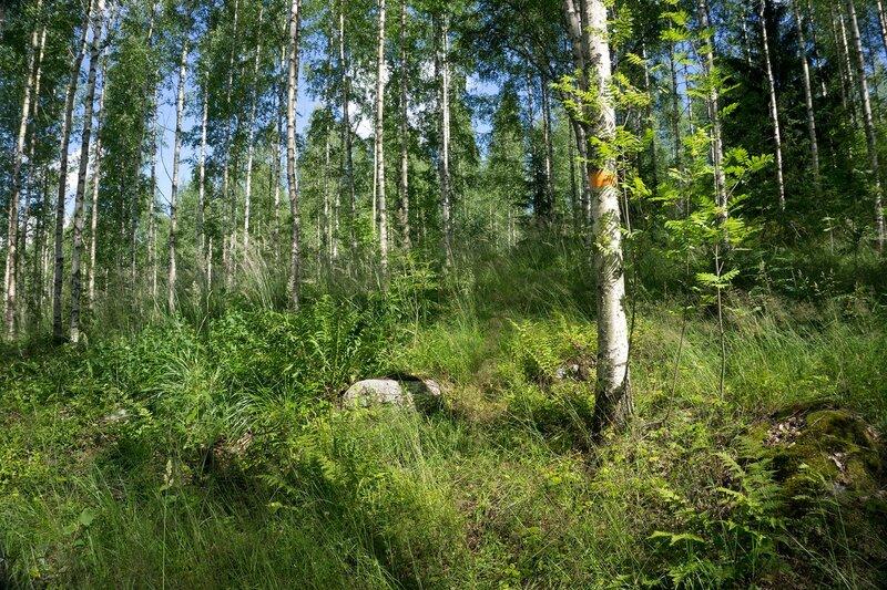 тропа по высокому холму с березовым лесом