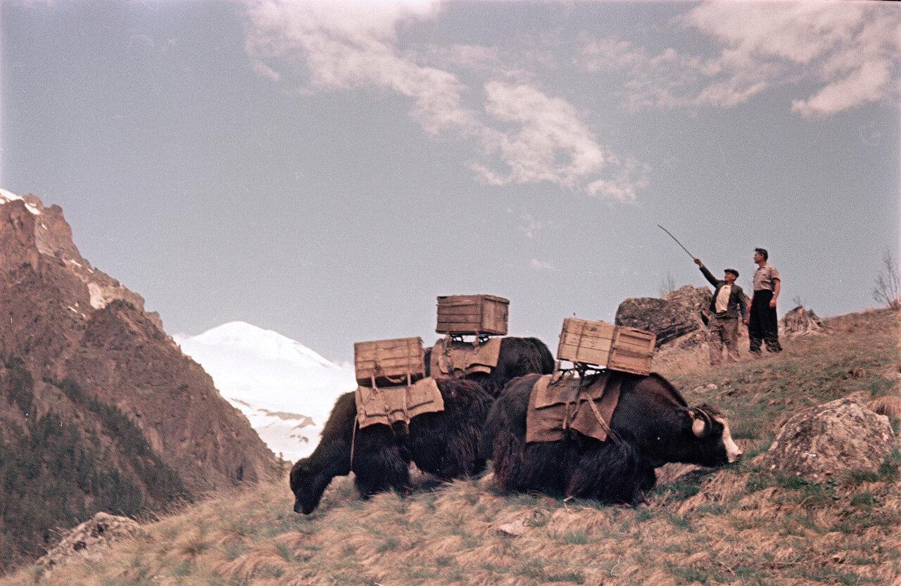 Яки направляются на Эльбрус