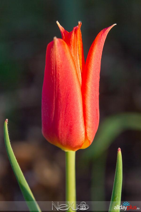 Я люблю все цветы, выпуск 161 | Тюльпаны «Пионовый» и «Balerina».