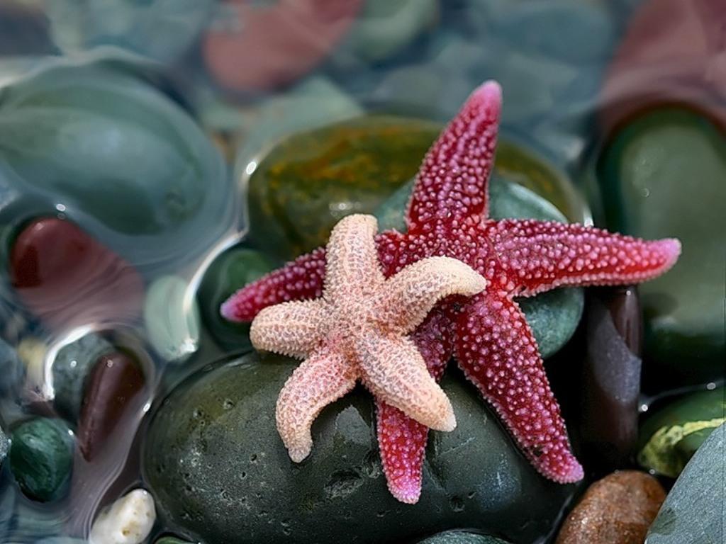 2 морские звезды на морских камнях в воде. Розовый и вишневый