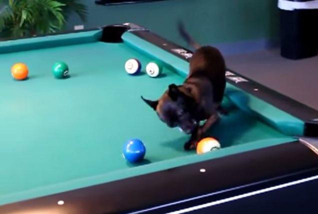 Видео   Собачка лихо играет в бильярд