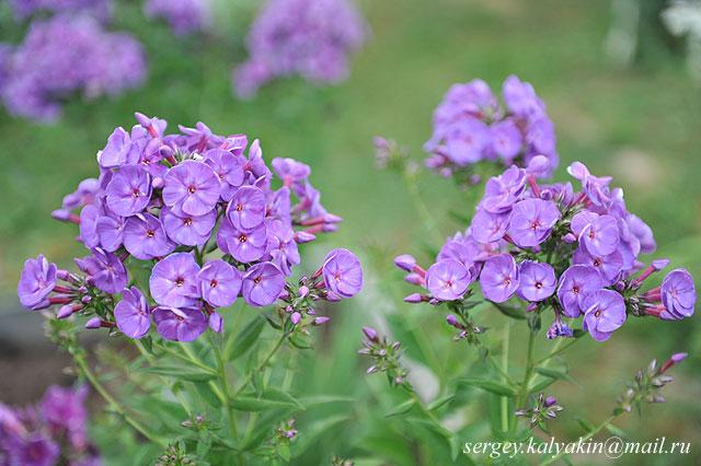 Флокс метельчатый Пурпурный бархат.JPG