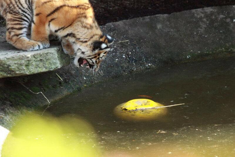 В зоопарке Лондона утонул маленький тигренок