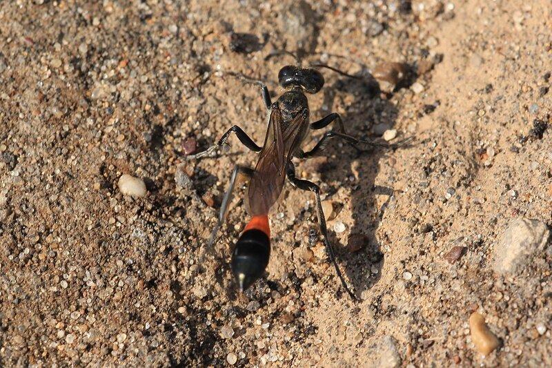 Оса-аммофила (Ammophila) из семейства роющих ос (Sphecidae) пытается вырыть норку в песке среди кусков асфальта