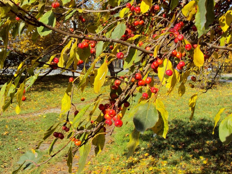 Декоративная яблоня (3)