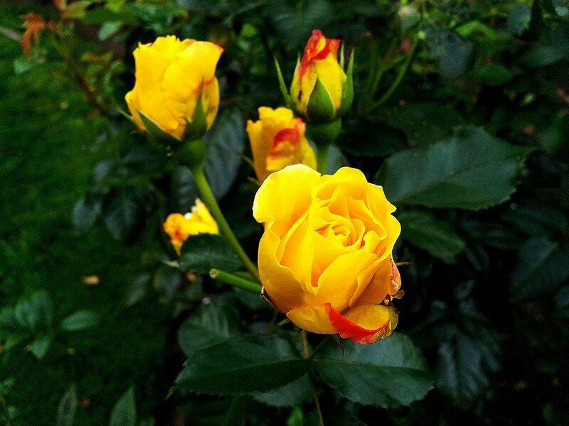 Жёлтая роза  1.jpg