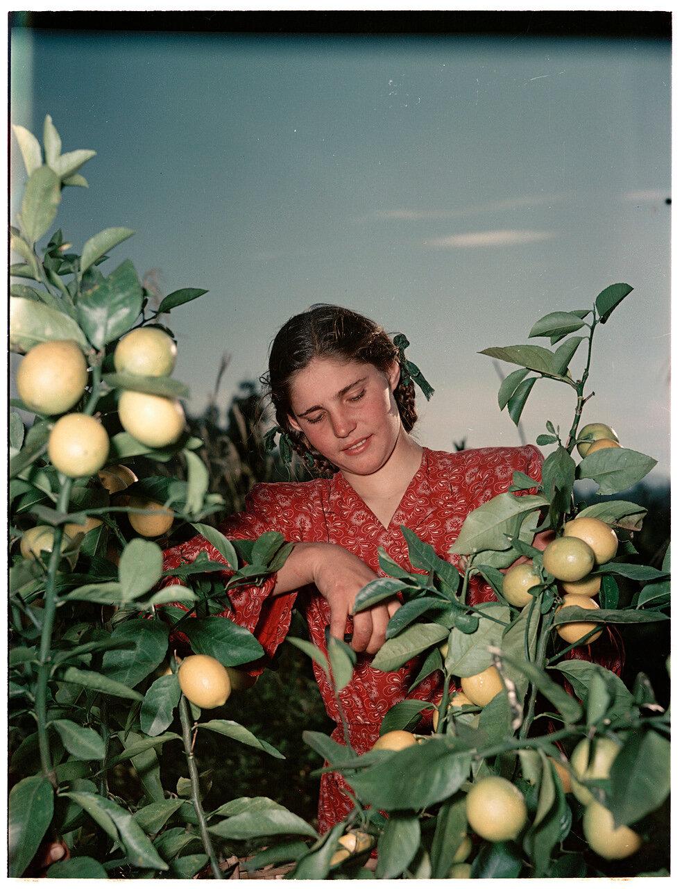 Сбор лимонов в совхозе