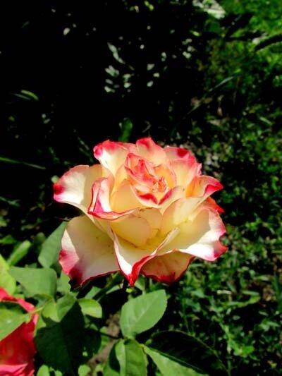 роза императрица Фара .jpg