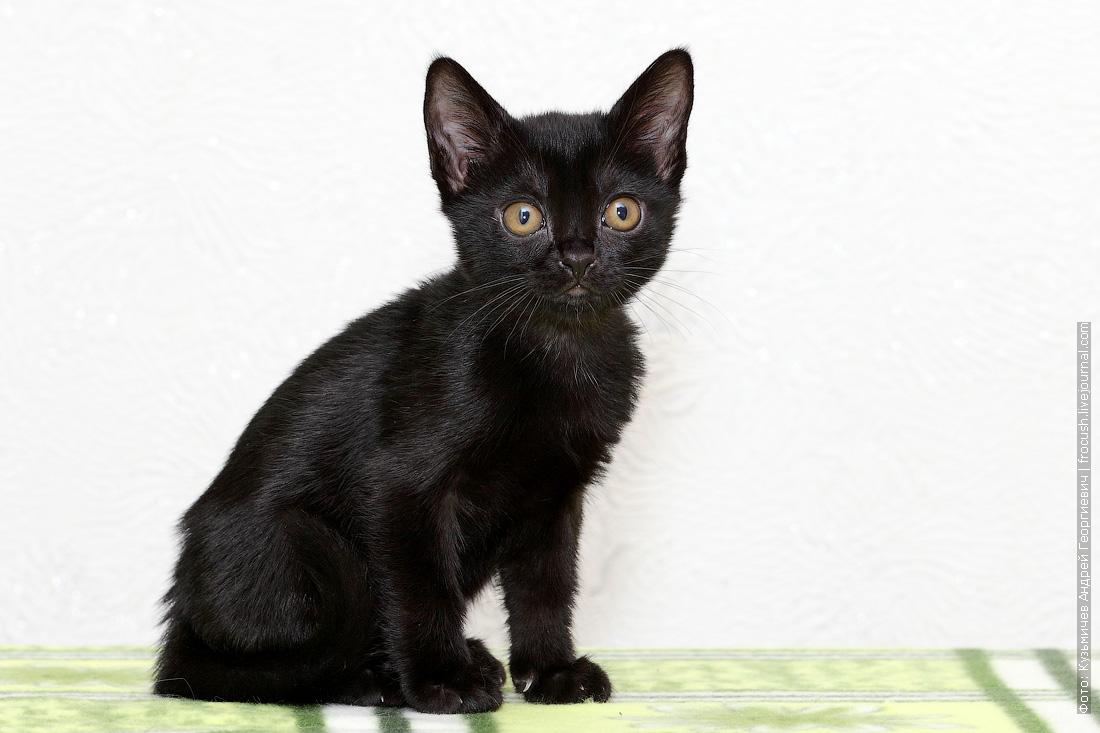 бомбейский котенок фотография