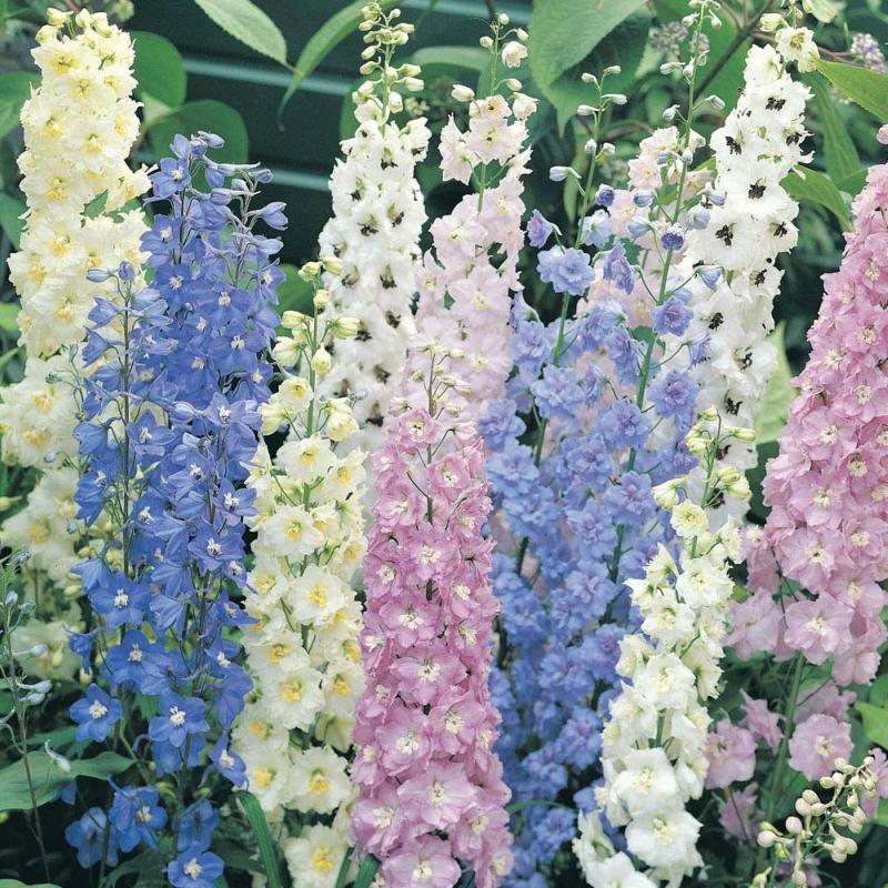 Многолетние цветы, переносящие жару-Дельфиниум