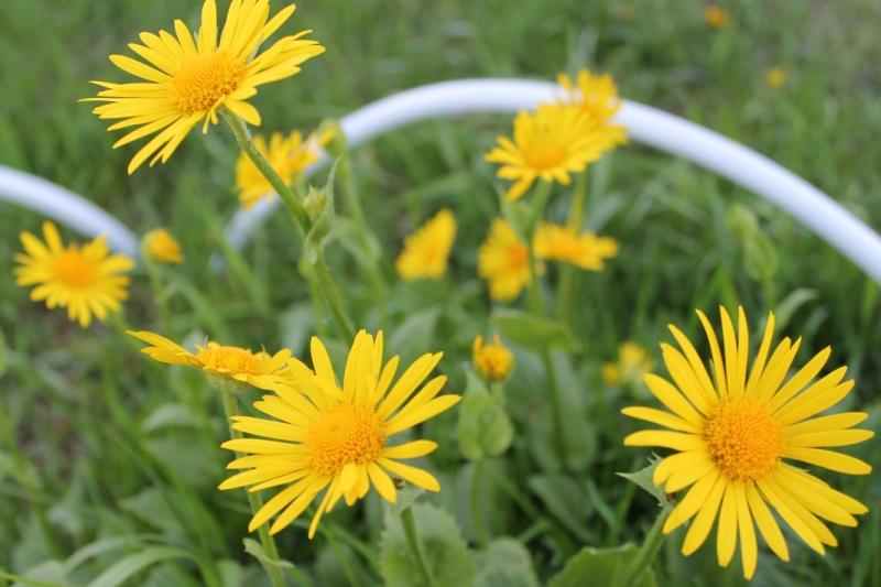 Многолетние цветы, переносящие жару-Дороникум