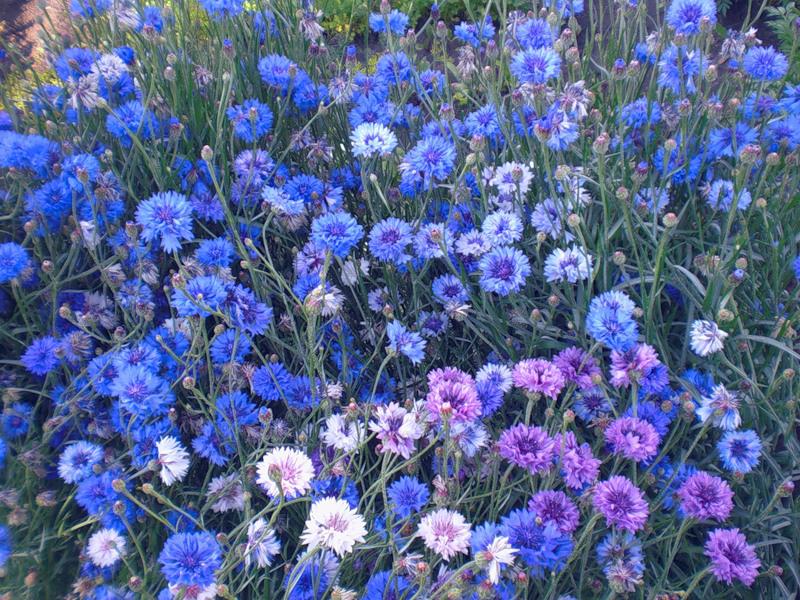 Какие цветы можно посадить под зиму - 20 однолетников-Васильки однолетние