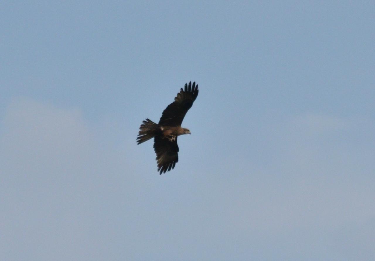 Хищные птицы пензенской области