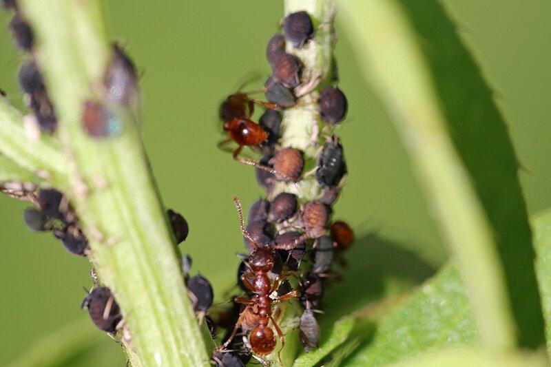 муравьи пасут стадо тли на стебле сорняка