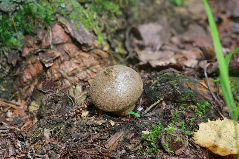 Порховка (пылевик, волчий табак, дымовик) - спороносная стадия гриба-дождевика
