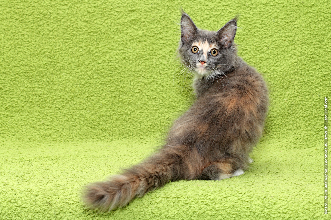 из питомника котенок Мейн-кун