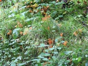 Гепиния гельвелловидная (Guepinia helvelloides)