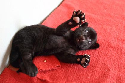 В Китае родился тигренок черного цвета без полосок