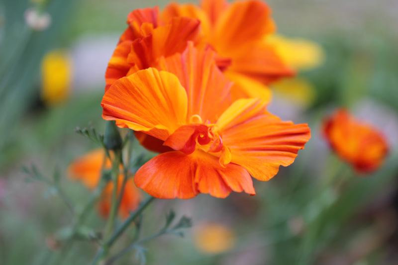 Какие цветы можно посадить под зиму - 20 однолетников-Эшшольция