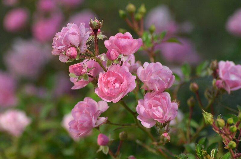 Осенняя розовая нежность