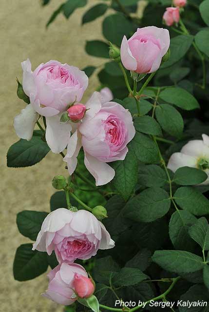 Rosa The Ancient Mariner (1).JPG