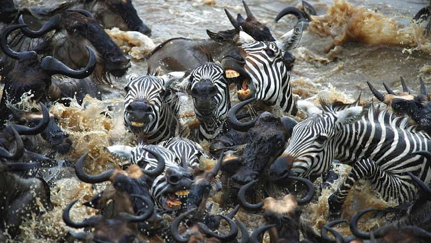 Храбрые зебры против тысяч антилоп (11 фото)