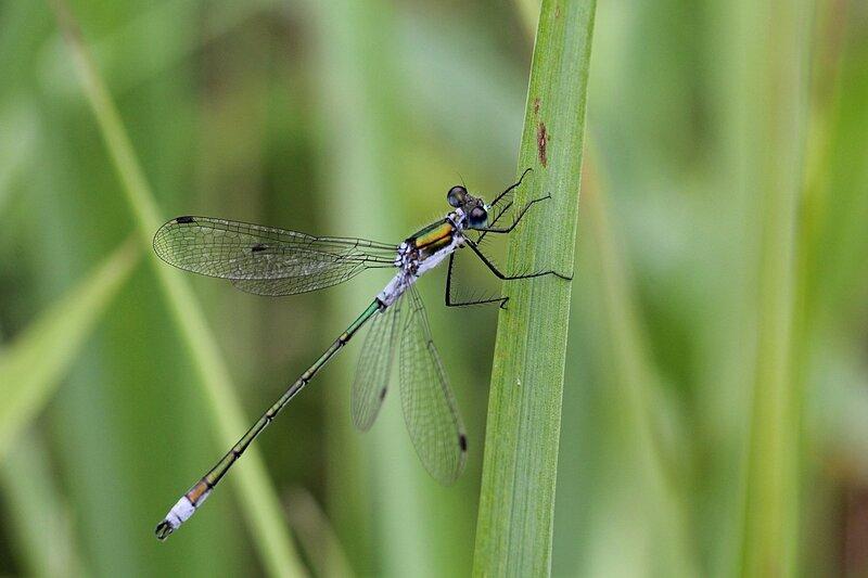Стрекоза Лютка-дриада (Lestes dryas) на травинке: большие круглые глаза, бронзово-зеленое тело с голубым налетом, крылья разведены в стороны