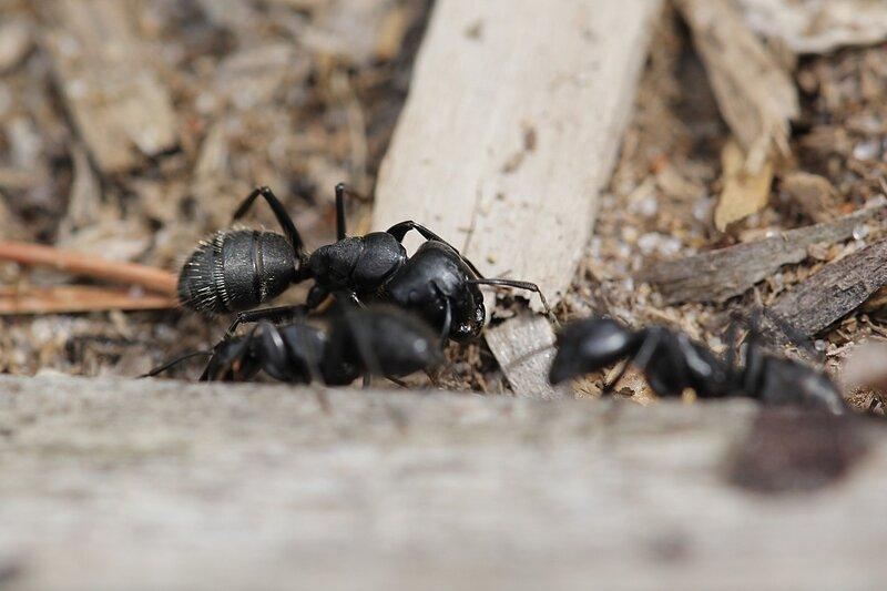 муравей-солдат (динэргат, майор) - бурый лесной муравей (Formica fusca)