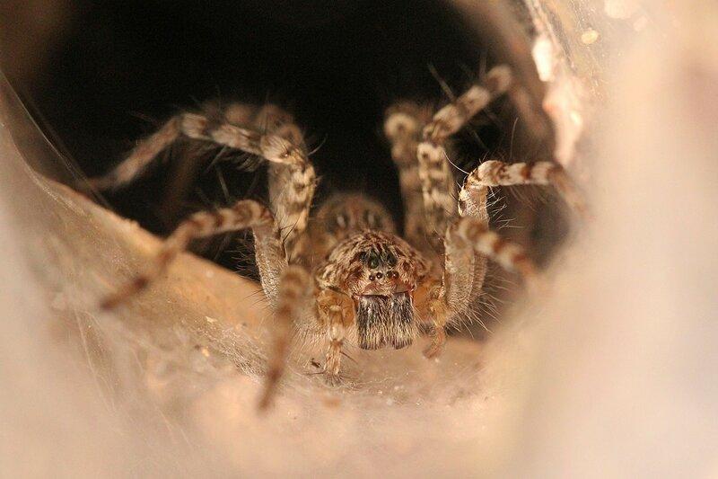 Воронковый паук (сем. Agelenidae) на пороге своей выстланной паутиной норки ждёт добычу. Национальный парк Namtok Sam Lan, Сарабури, Таиланд.
