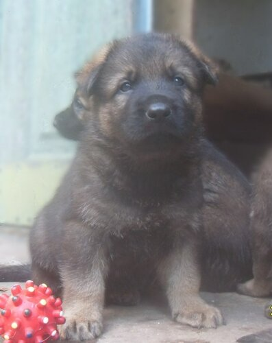 Родились щенки от Charly v. Rio Negro и Lola iz Peschanki 0_e91ff_a337bd70_L