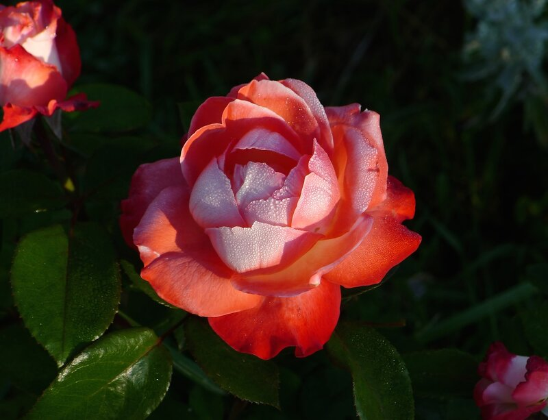 Роза Nostalgie.